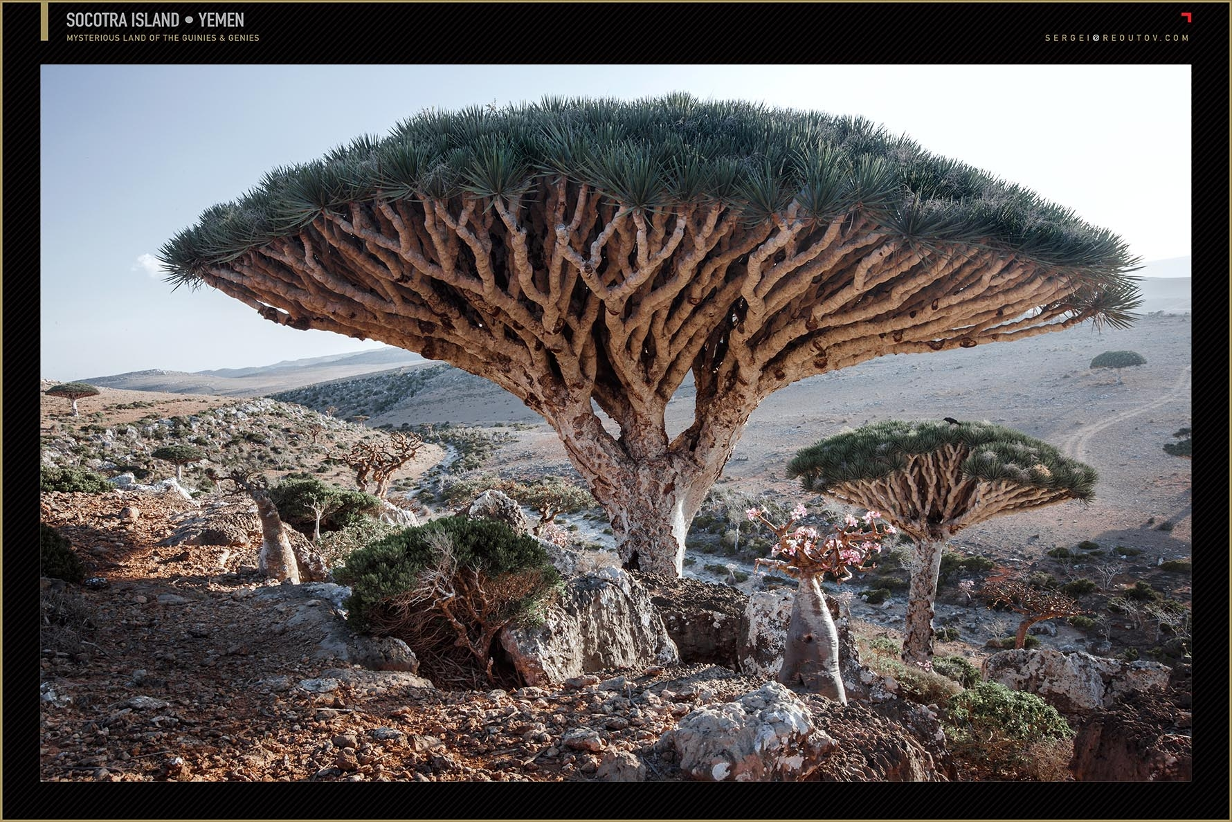 Camel Thorn Tree, Namib Desert, Deadvlei