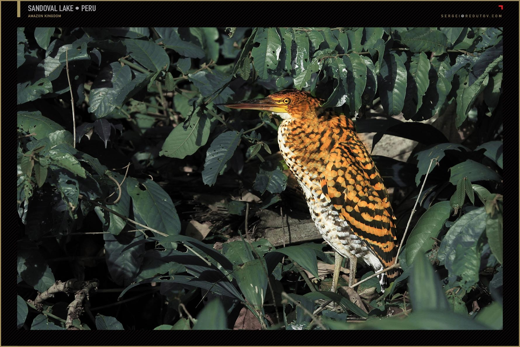 Tiger heron, Amazon